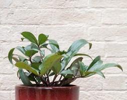 Helleborus x nigercors 'Emma' (PBR) (Christmas rose in ceramic pot)