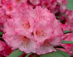 Rhododendron 'Wine and Roses' (PBR) (rhododendron)
