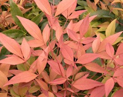 Nandina domestica 'Magical Sunrise' (heavenly bamboo)