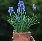 ceramic pot with muscari