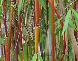 Fargesia 'Red Panda = 'Jiu'' (umbrella bamboo)