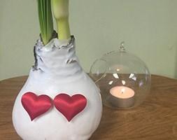 Valentine white wax amaryllis (no water living amaryllis)