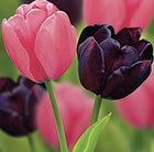 Plum sorbet tulip collection