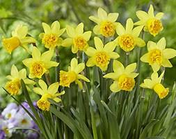 Narcissus 'Tete Rosette' (miniature daffodil bulbs)