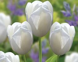 Tulipa 'Catherina' (single late tulip)