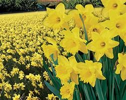 Narcissus 'Cornish Gold' (trumpet daffodil bulbs)
