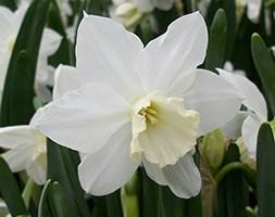 Narcissus 'Tresamble' (triandrus daffodil bulbs)