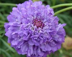 Scabiosa 'Blueberry Muffin' (Dessert Series) (pincushion flower)