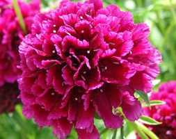 Scabiosa 'Raspberry Sorbet' (pincushion flower)