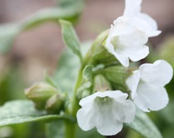 Pulmonaria 'Sissinghurst White' (lungwort)