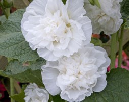 Alcea rosea Chater's Double Group Double white-flowered (hollyhock)
