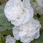 Alcea rosea Chater's Double Group white-flowered