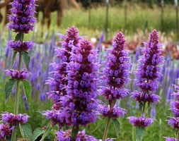 Agastache 'Blue Boa' (Mexican giant hyssop)