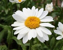 Leucanthemum x superbum 'Snowcap' (shasta daisy)