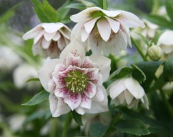 Helleborus x hybridus 'Harvington double speckled' (Lenten rose hellebore)