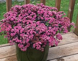 Sedum 'Dazzleberry'  (Sunsparkler) (PBR) (stonecrop)