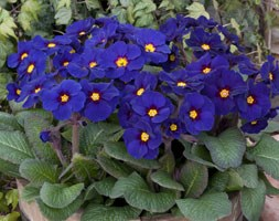 Polyanthus Stella Pheasants Eye (40 plus 20 FREE large plug plants)