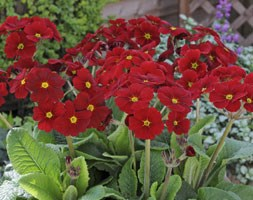 Polyanthus Stella Regal Red (40 plus 20 FREE large plug plants)