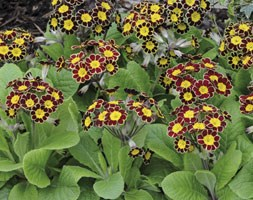 Polyanthus Victoriana Gold Lace (40 plus 20 FREE large plug plants)