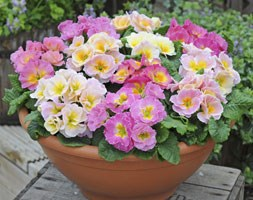 Primrose Sweetheart (40 plus 20 FREE large plug plants)