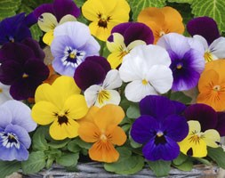 Viola Sorbet F1 Mixed (40 plus 20 FREE large plug plants)