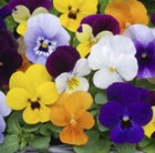 Colourful Winter Flowers - Homebase