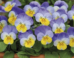 Viola Sorbet Yellow Frost (40 plus 20 FREE large plug plants)
