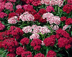 Sweet William Indian Carpet (40 plus 20 FREE large plug plants)
