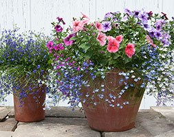 Hanging basket bedding plant collection (60 large plug plants)