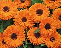 Calendula 'Fiesta Orange' (40 plus 20 FREE large plug plants)