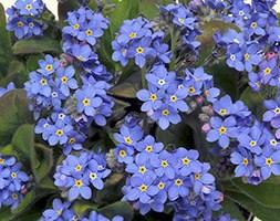 Myosotis 'Sylvia Blue' (40 plus 20 FREE large plug plants)