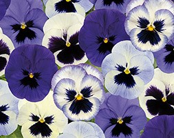 Pansy 'Ocean Breaze  Mixed Improved' (40 plus 20 FREE large plug plants)