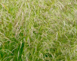 Deschampsia cespitosa 'Goldschleier' (tufted hair grass)