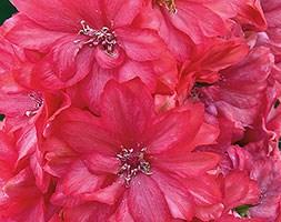 Delphinium 'Coral Sunset' (PBR) (delphinium)