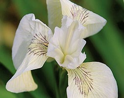 Iris 'Creme de Creme' (iris)