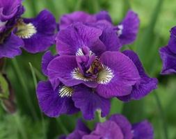 Iris 'Kaboom' (iris)
