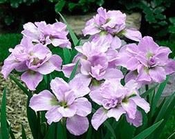 Iris 'Kita-no-seiza' (iris)