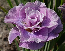Iris 'Pink Parfait' (iris)