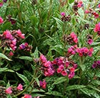 Pulmonaria Raspberry Splash (PBR)