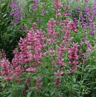 Agastache mexicana Red Fortune (PBR)