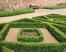 Buxus sempervirens (common Box - hedging range)