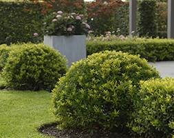 Ilex crenata Dark Green ('Icoprins11') (PBR) (box-leaved holly - ball)