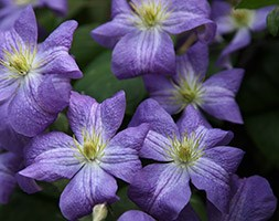 Clematis 'Jenny' (clematis (group 3))