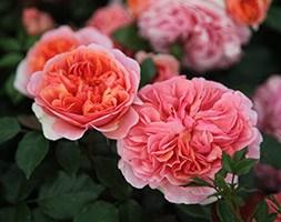 Rosa Duchess of Cornwall = andapos;Tan97157andapos;  (rose Duchess of Cornwall (hybrid tea))
