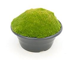 Scleranthus uniflorus 'Forest Green' (knawel moss)