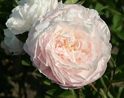Paeonia lactiflora  'Mother's Choice' (peony)