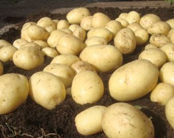 potato 'Casablanca' (PBR) (potato - first early, Scottish basic seed potato)