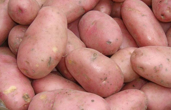 organic potato - maincrop