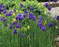 Iris 'Caesar's Brother' (Siberian iris)
