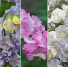 Sweet Pea collection Highly Scented